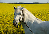 white horse and yellow field