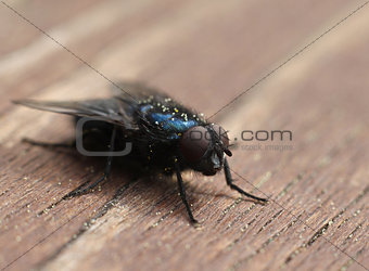 Blue blow-fly closeup macro