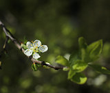 White fruit tree flower blossoming