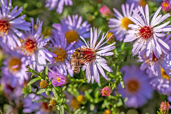 Bee on a  flower the chamomile