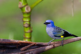 Blue - grey Tanager