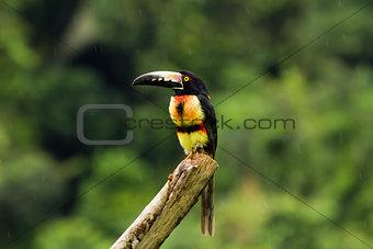 Aracari, Toucan