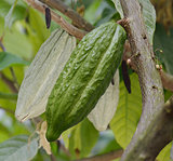 Cocoa Tree With Fruits