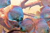 Discus fish (Symphysodon)