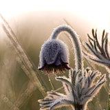 Pulsatilla blossom at sunrise
