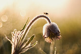 Fly on the pulsatilla flower