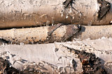 three birch logs