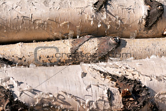 three birch logs
