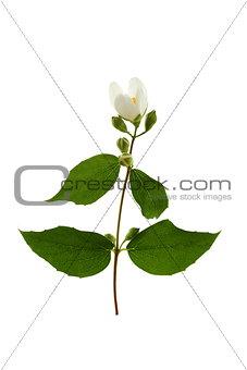 Sprig of flowering jasmine.