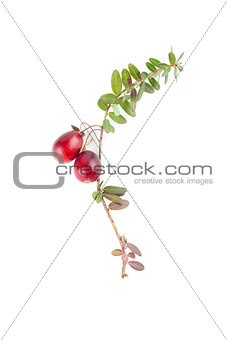 Cranberry twig on white