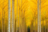 Autumn Stand of Trees Blazing Yellow Autumn Fall Color
