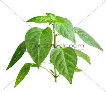 Branch of pepper