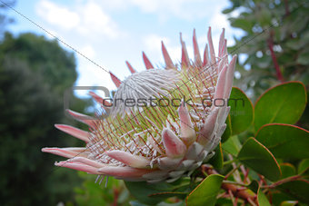 Giant King Protea