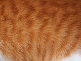 Texture of ginger cat.