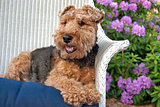 Welsh terrier in garden