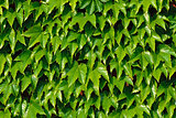 Ivy climbing (Hedera helix) on a brick wall