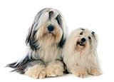 coton de tulear and bearded collie
