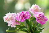 Closeup photo of flowers (peonies)