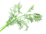 Branch of green dill