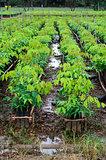 rubber tree nursery