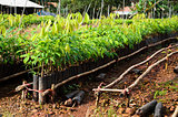 rubber tree seedlings