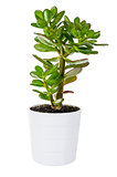 Green Crassula or money tree in white flower pot isolated
