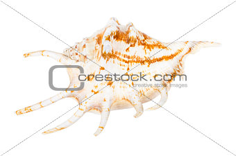 Beautifiul ocean shell isolated on white