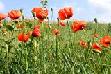orange bright poppy