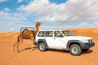 Camel rubs against a car