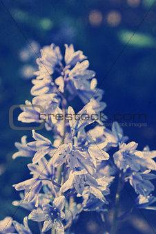 Grunge bluebells background