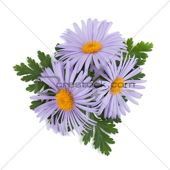 Blue chamomile flowers
