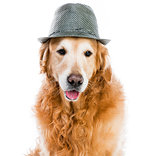 Retriever in hat