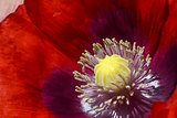 Deep red poppy bloom