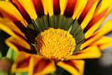 Red and yellow gazania flower