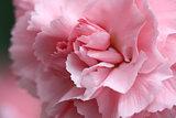 Pale pink carnation