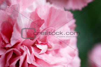 Abstract of pink carnation petals