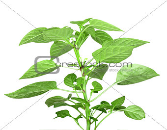 Branch of pepper