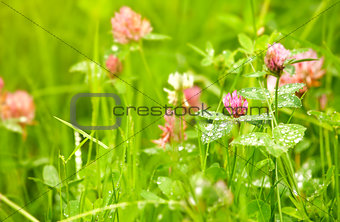 Blooming potatoes with green leaf