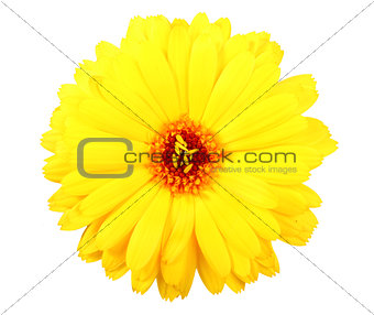 One yellow flower of calendula