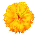 One orange flower of marigold