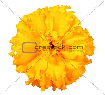 One orange flower of marigold