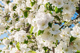 Closeup of the Pear Blossom in Spring