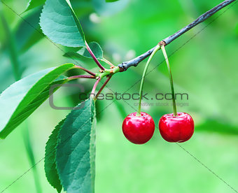 Two cherries hanging on the branches of a cherry tree