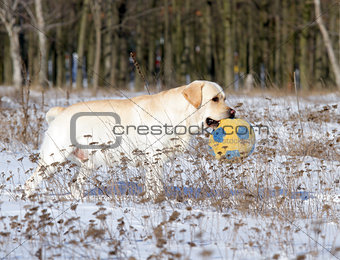yellow labrador in winter with a ball