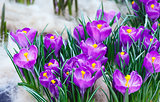 Spring purple crocuses (macro)