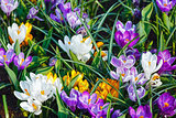 Spring variegated crocuses (macro)