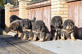 Puppies breed Tibetan Mastiff