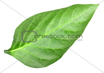 Green leaf of pepper
