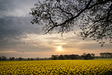 Sunrise dawn landscape over rapeseed canola field