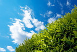 Hedge with Blue Sky
